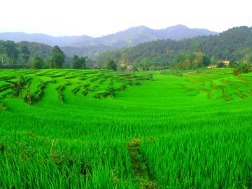 thon-tha-rice-field